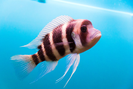 zebra lionfish: Photo of aquarium fish frontosa in blue water Stock Photo