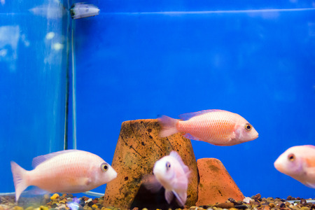 scalare: Photo of aulonocara fish in blue water