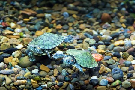 terrapin: Foto di una piccola tartaruga d'acqua dolce strisciante verde Archivio Fotografico