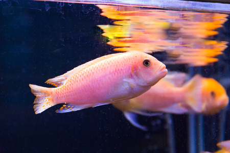 Photo of aulonocara fish in blue water