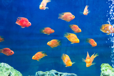 Photo of red parrot cichlid in blue water photo