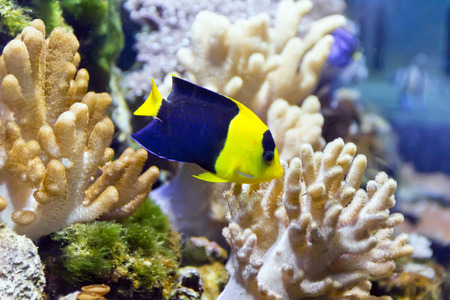 aulonocara: Photo of aquarium angel fish in blue water Stock Photo