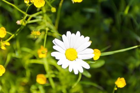 daisywheel: Photo of one white daisywheel on green background Stock Photo