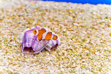 percula: Photo of aquarium clown fish amphiprion percula