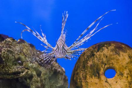 pterois volitans: Photo of striped pterois volitans in aquarium Stock Photo