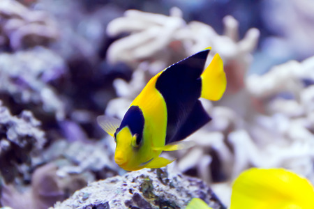 Photo of pomacanthidae angel fish in aquarium