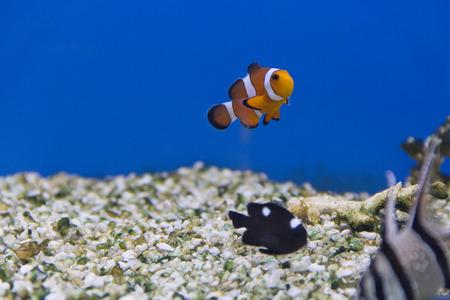 percula: Photo of aquarium fishes in salt water