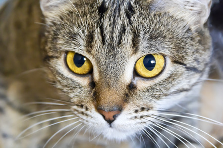 Photo of cat portrait with yellow eyes Banque d'images