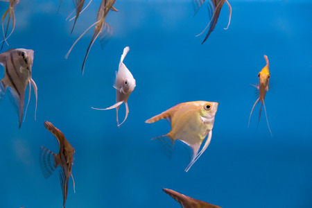 scalare: Photo of tropical freshwater aquarium with scalare Stock Photo