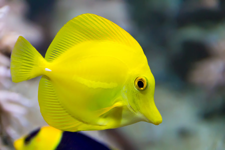 frontosa: Image of zebrasoma yellow tang fish in aquarium Stock Photo