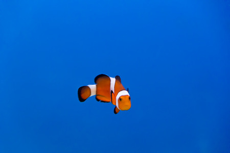 dendrochirus zebra: Image of clown fish in aquarium water Stock Photo