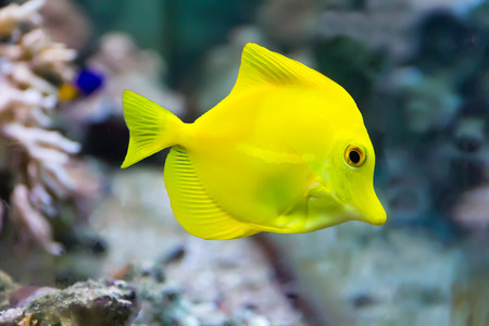 pterophyllum: Image of zebrasoma yellow tang fish in aquarium Stock Photo