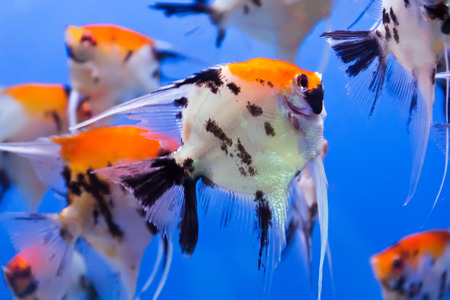 aulonocara: Photo of aquarium fish in blue water Stock Photo