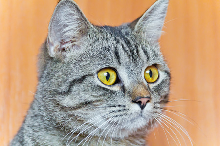 Photo of cat portrait with yellow eyes Stock Photo