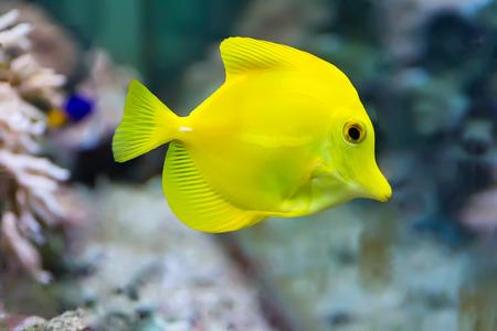 yellow tang: Image of zebrasoma yellow tang fish in aquarium Stock Photo