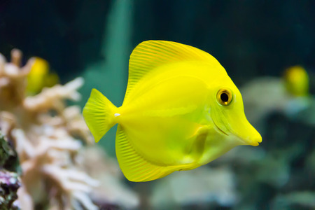 Image of zebrasoma yellow tang fish in aquarium Stock Photo