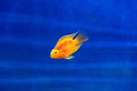 aulonocara: Photo of red parrot cichlid in blue water