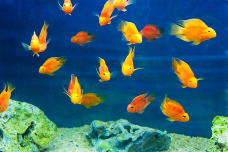 frontosa: Photo of red parrot cichlid in blue water