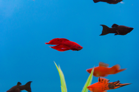 Photo of cockerel fish in blue water