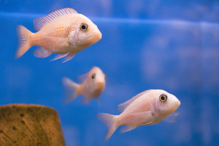 aulonocara: Photo of aquarium fish aulonocara in freshwater