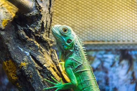 animals amphibious: Photo of a green lizard in aquarium