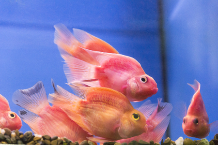 cichlid: Photo of aquarium fish parrot cichlid in freshwater Stock Photo
