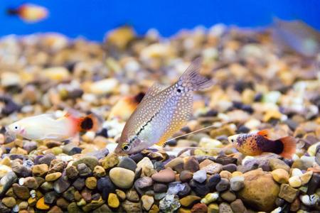 scalare: Photo of aquarium fish in blue water Stock Photo