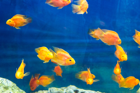 Photo of red parrot cichlid in blue water