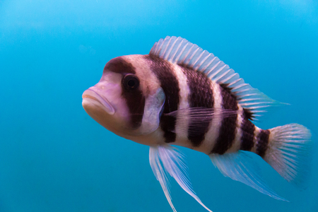 frontosa: Photo of aquarium fish frontosa in blue water Stock Photo