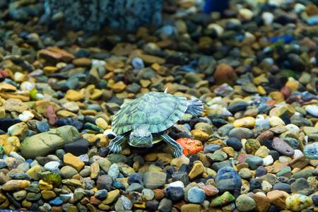 animals amphibious: Photo of a small green creeping terrapin