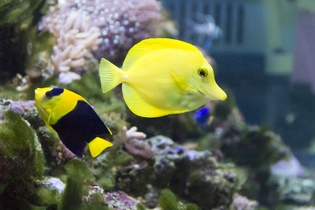 chaetodontidae: Photo of angel fish and zebrasoma in aquarium
