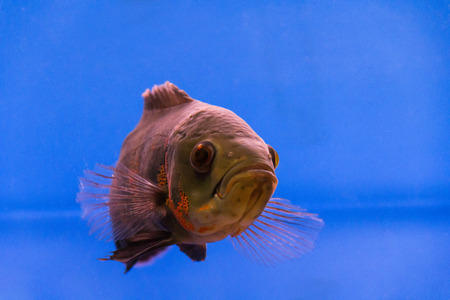 ocellatus: Photo of a astronotus ocellatus in aquarium