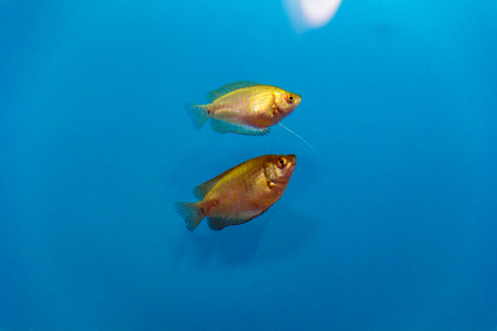 scalare: Photo of aquarium fish in blue water Stock Photo