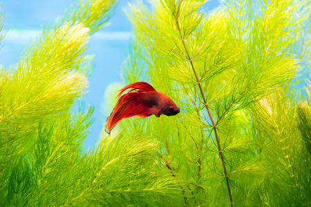 scalare: Photo of cockerel fish in blue water