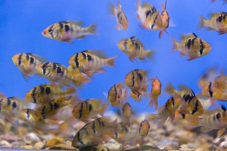 ramirezi: Photo of aquarium fish bolivian ram cichlid Stock Photo
