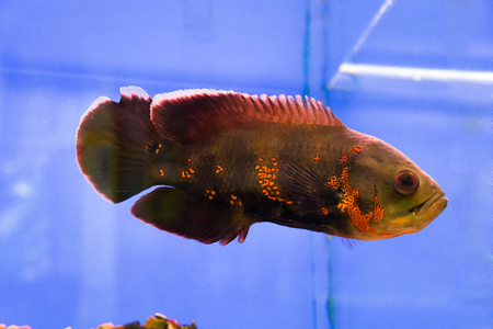 Photo of a astronotus ocellatus in aquarium