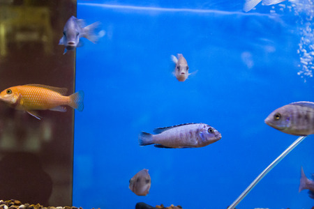 aulonocara: Photo of aulonocara fish in blue water