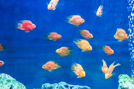 fish water: Photo of red parrot cichlid in blue water