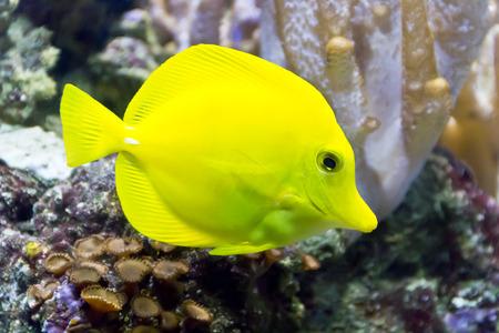 zebrasoma: Photo of fish yellow zebrasoma in aquarium
