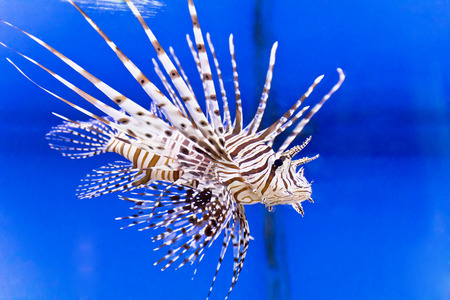 surgeonfish: Photo of striped pterois volitans in aquarium Stock Photo