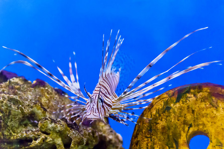 Photo of striped pterois volitans in aquarium Stock Photo