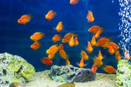 aulonocara: Photo of aquarium parrot fish in blue water Stock Photo