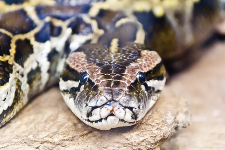 reticulated: Photo of reticulated python head in full face