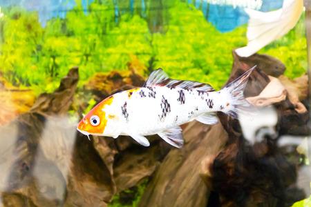 cyprinidae: Photo of fish Cyprinus carpio koi in aquarium