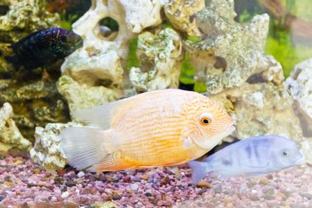 cichlasoma: Photo of exotic fishes in zoo aquarium