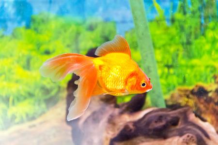 scalare: Photo of aquarium goldfish in blue water