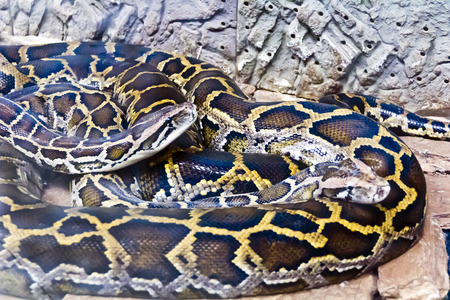coldblooded: Photo of two snakes python in the midst of stones