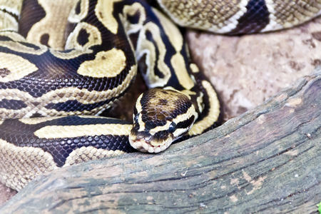 reticulated: Photo of reticulated python close up in zoo Stock Photo