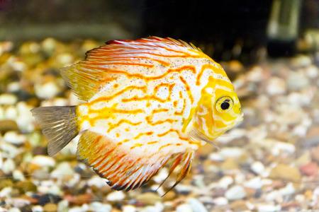 cichlasoma: Photo of fish symphysodon aequifasciata haraldi in aquarium