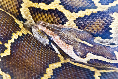 reticulated: Photo of reticulated python head close up Stock Photo